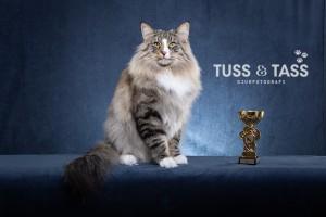 Kattfotograf, kattfotografering, kattfotograf Stockholm, kattfotografering Stockholm, kattutställning, showcat, cat photographer sweden,tussochtass